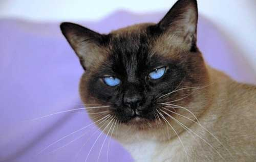 Прикольные сиамские кошки