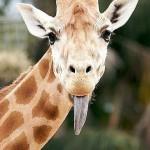 Смешные жирафы — картинки