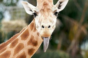 Смешные жирафы - картинки