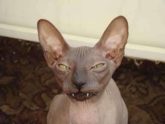 Прикольное фото лысых кошек