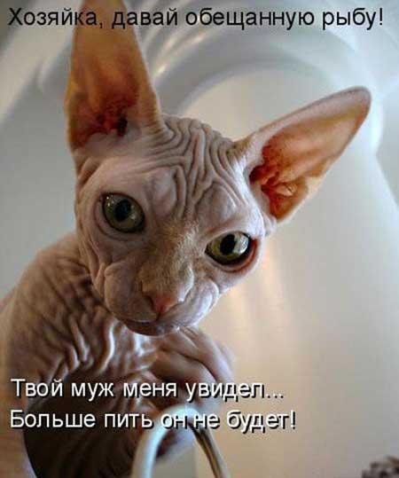 Смешные подписи к фото лысых котов