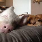 Прикольные фото свиней