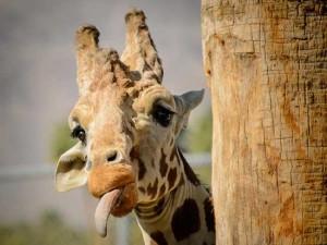 Прикольные картинки с жирафами